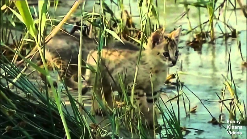 Jungle cat and the other inhabitants of the animal world 2014