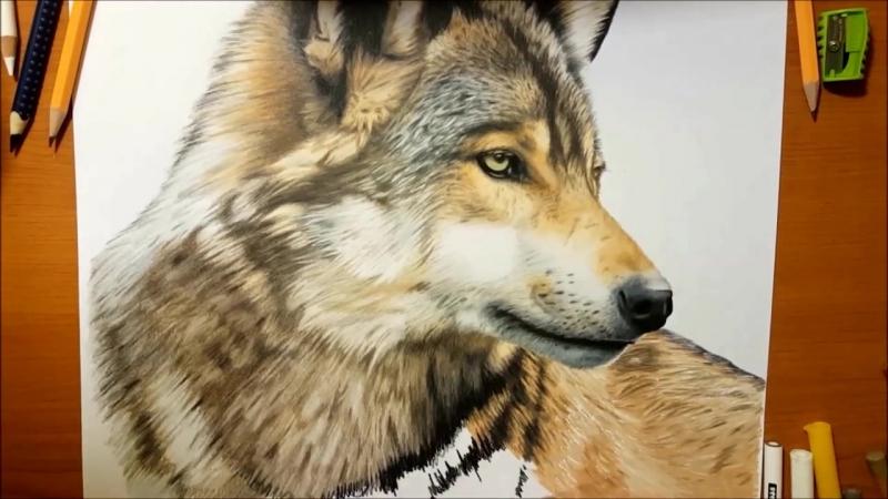 Speed Drawing of a Wolf - Jasmina Susak