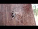 абориген Таганая жук усач
