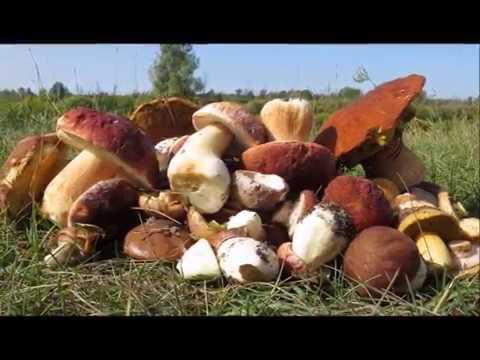 Белые грибы в окрестностях Тюмени