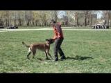 Трюки №2 Малинуа Собачье Сердце Курс Дрессировки - результат