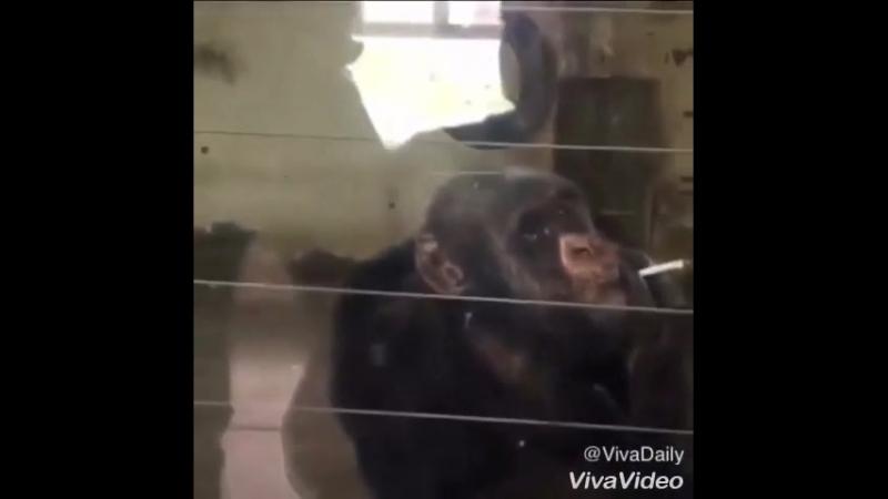 Smoking monky