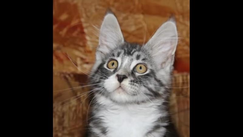 Котята мейн кун. ПРОДАЖА!