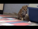 Жизнь с мини леопардом Азиатская леопардовая кошка дома zabota poroda koshek scscscrp