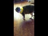 Фокси играет с мышкой