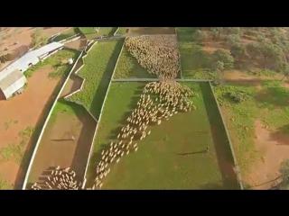 Австралийский фермер снял с дрона перемещения овец по пастбищу.