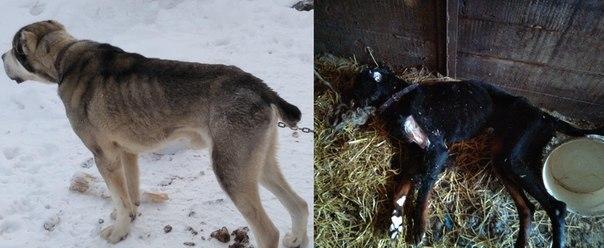 В Усть-Илимске во дворе частного владения голодной смертью умирали собаки