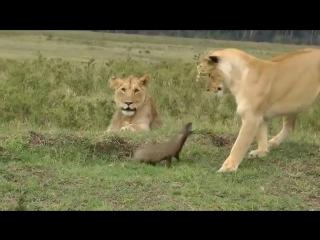 Четыре львицы и один мангуст