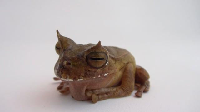 Рогатая сумчатая квакша / Horned marsupial frog (Gastrotheca Cornuta)
