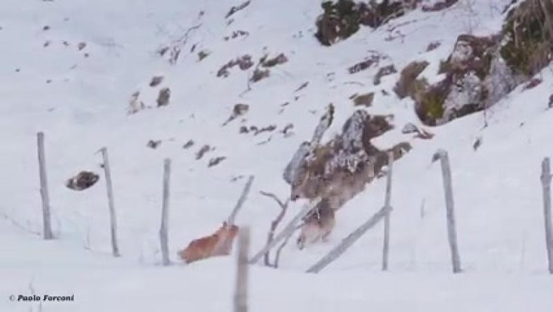 Погоня трёх волков за собакой была запечатлена в Италии