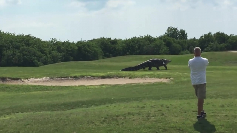 Giant Gator Walks Across Florida Golf Course - GOLF.com