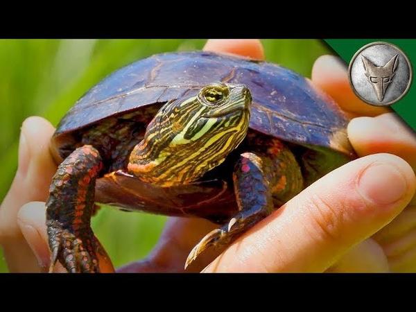 САМАЯ ПОПУЛЯРНАЯ ЧЕРЕПАХА в Америке.Расписная черепаха.Brave Wilderness на русском