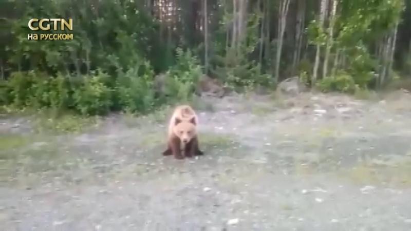 Турист хотел поделиться с медведем бананом, но тот не стал его есть.