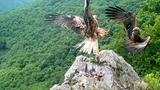 Black Kite, Red Kite, Raven, Common Buzzard