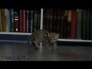 Леопардовая кошка реально ли ее приручить poroda koshek zabota scscscrp