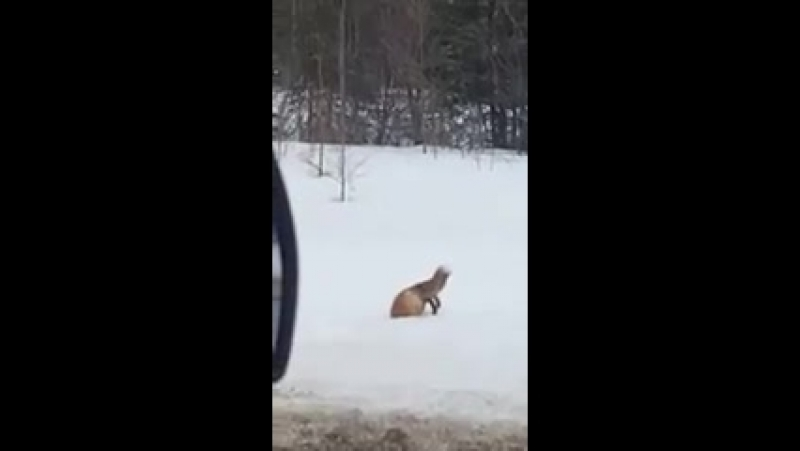 Лиса мышкует) (хорошее настроение, юмор, в мире дикой природы, лисица, лисы, животное, звери, зима, охота, хищник, ныряет).