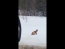 Лиса мышкует хорошее настроение юмор в мире дикой природы лисица лисы животное звери зима охота хищник ныряет