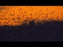 How do starling birds flock Life in the Air Episode 3 Preview BBC One