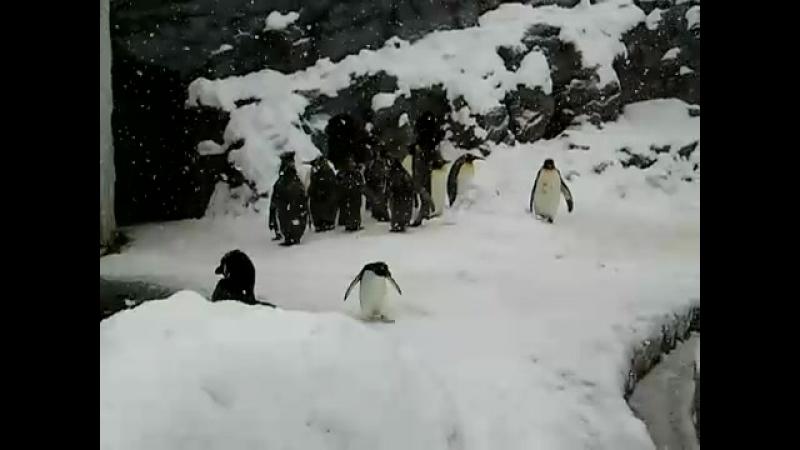 У пингвина на похоронах поехал пиздак
