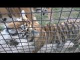 Есть контакт (тигрята Фриды продолжение)