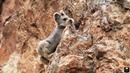 Илийская пищуха. В Китае впервые засняли на видео редчайшего «волшебного кролика»