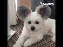 Пёс с ушами как у Микки Мауса