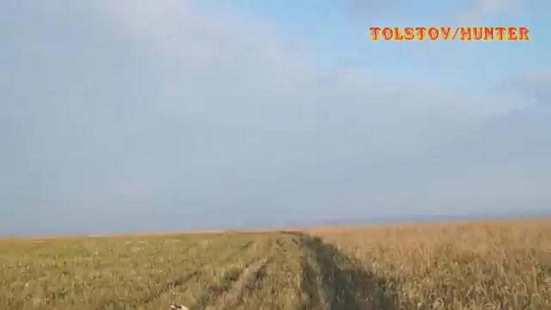 Традиционная Охота в России Охота по перепелу с русским спаниелем