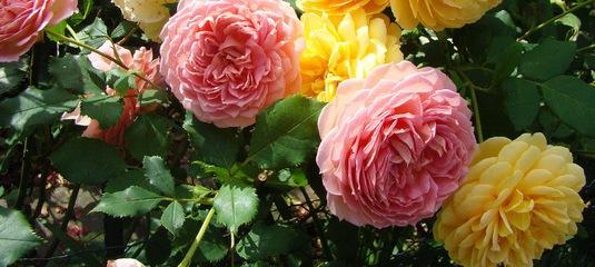 Розы купить саженцы почтой из питомника весна 2016 купить цветы в курганинске