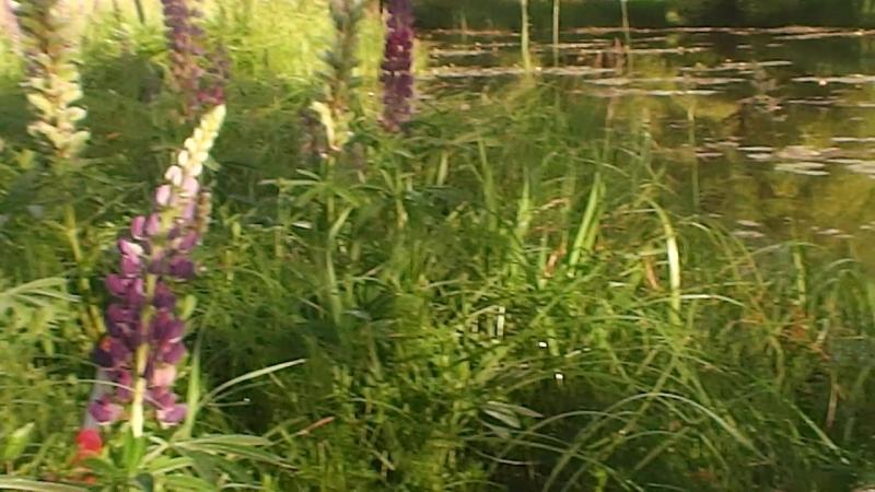 (видео)-Пушкари-кувшинки-самое уютное икрасивое место.Р Венёвка