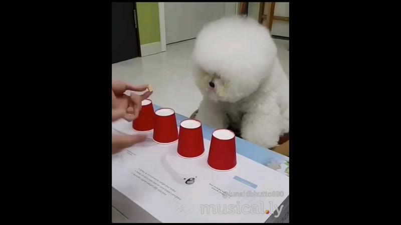 умная, маленькая собачка