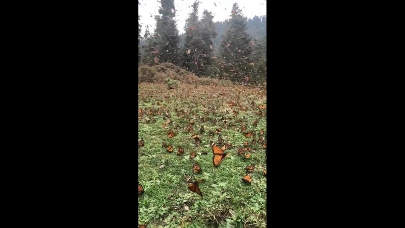 Нетронутый цивилизацией прекрасный мир-миллионы бабочек