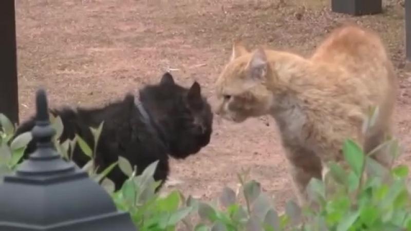 Драка котов, с озвучкой из фильма Джентельмены Удачи (720p).mp4