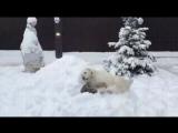 Ничего необычного, просто алабай с тигром играют в снегу