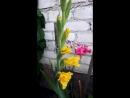 Август Гладиолусы Цвета солнца Мои цветы