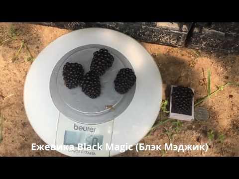 Саженцы ежевики. Магическая сила ежевики Блэк Мэджик - Black Magic