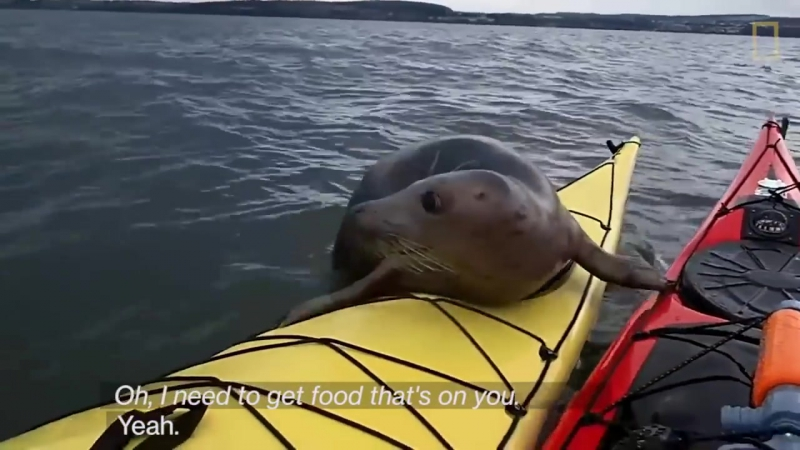 Adorable Seal Catches a Ride on a Kayak National Geographic