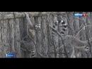 Детеныши кошачьих лемуров появились на свет в Московском зоопарке!