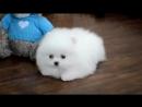 Белый щенок померанского карликового шпица! White puppy Pomeranian Dwarf