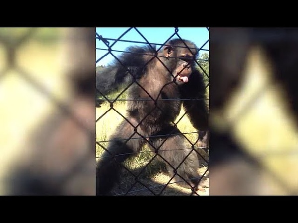 Rhythmic chimpanzees show they're the real king of the swingers as they dance along to musical