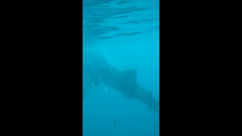 Китовые Акулы Филлипины