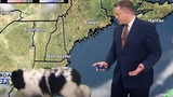 Dog Nonchalantly Strolls Through Weather Report