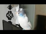 Зифирчик говорящий попугай .mp4