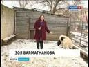 Калмыцкие учёные занялись исследованиями африканских овец