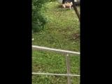 Полицейский застрелил пса, не подпускавшего людей к лежащему на улице хозяину