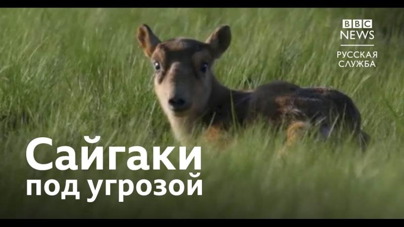 Сайгаки под угрозой вымирания