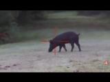 17 Pigs w