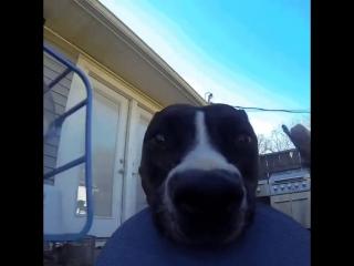 Видеофакт: пес снял лучшую сцену погони на украденную камеру GoPro