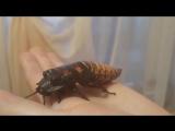 Мой домашний питомец Мадагаскарский таракан