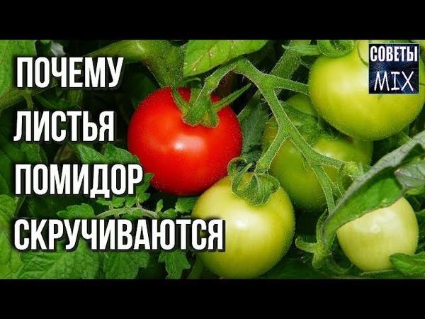 Почему скручиваются листья томатов Как это происходит и что с этим делать Дачные советы