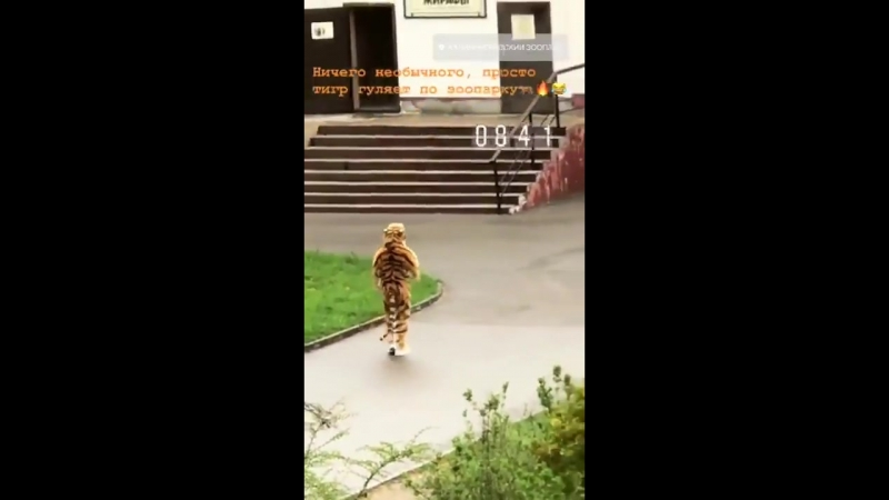 В Калининградском зоопарке прошли учения по отлову амурского тигра